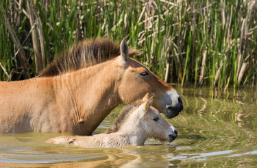 EU13MZW0595 Przewalskis Horse or Takhi (Equus ferus przewalskii) in the wildlife center of the Hortobagy National Park. Mare with foal crossing a river, Pentezug Puszta, Hungary