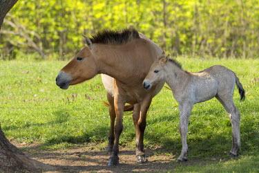 EU13MZW0597 Przewalskis Horse or Takhi (Equus ferus przewalskii) in the wildlife center of the Hortobagy National Park. Mare with foal, Pentezug Puszta, Hungary