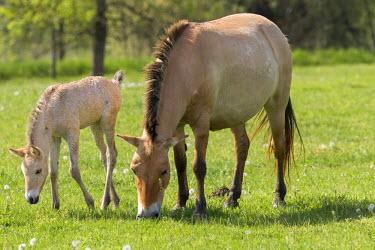 EU13MZW0600 Przewalskis Horse or Takhi (Equus ferus przewalskii) in the wildlife center of the Hortobagy National Park. Mare with foal grazing, Pentezug Puszta, Hungary