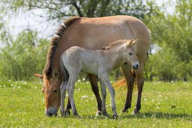EU13MZW0601 Przewalskis Horse or Takhi (Equus ferus przewalskii) in the wildlife center of the Hortobagy National Park. Mare with foal grazing, Pentezug Puszta, Hungary