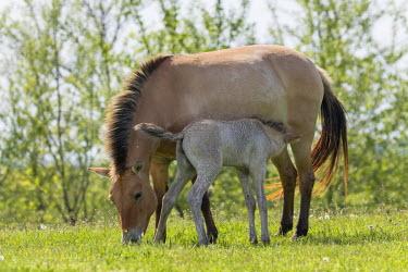 EU13MZW0605 Przewalskis Horse or Takhi (Equus ferus przewalskii) in the wildlife center of the Hortobagy National Park. Foal drinking from its mother, Pentezug Puszta, Hungary