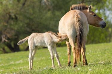 EU13MZW0606 Przewalskis Horse or Takhi (Equus ferus przewalskii) in the wildlife center of the Hortobagy National Park. Foal drinking from its mother, Pentezug Puszta, Hungary