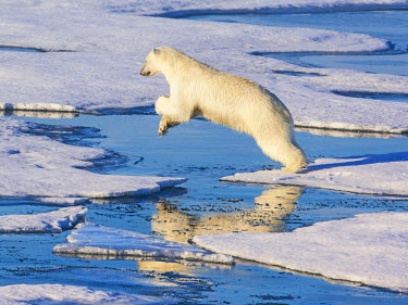 EU21JAM0003 Svalbard, Norway. Polar Bear jumps across ice sheets.