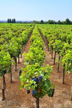 POR8694AW Vineyards at Quinta da Bacalhoa. Azeitao, Portugal