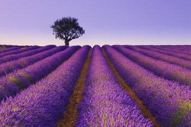 FR02828 France, Provence Alps Cote d'Azur, Haute Provence, Plateau of Valensole, Lavander Fields