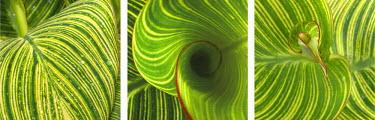 NA01AMI0057 Striped Canna Leaf Triptych