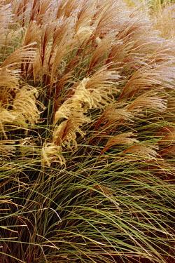 NA01AMI0066 Ornamental Grass