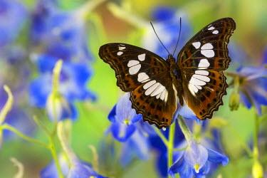 NA02DGU0120 Tropical butterfly, Moduza Mata amida