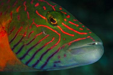 OC01POX0246 Lined cheeked Wrasse (Oxycheilinus digrammus), Rainbow Reef, Fiji.