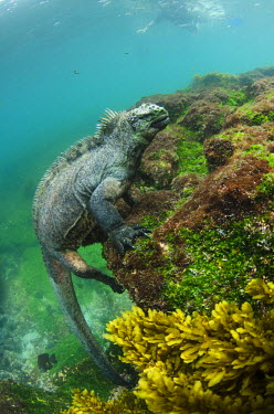 SA07POX2776 Marine Iguana (Amblyrhynchus cristatus) underwater. Fernandina Island, Galapagos Islands, Ecuador.
