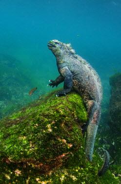 SA07POX2778 Marine Iguana (Amblyrhynchus cristatus) underwater. Fernandina Island, Galapagos Islands, Ecuador.