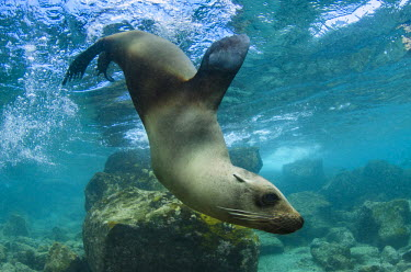 SA07POX2834 Galapagos Sea lion (Zalophus wollebaeki) underwater, Galapagos, Ecuador.