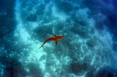 SA07POX2932 Galapagos Shark (Carcharhinus galapagensis), Galapagos Islands, Ecuador.