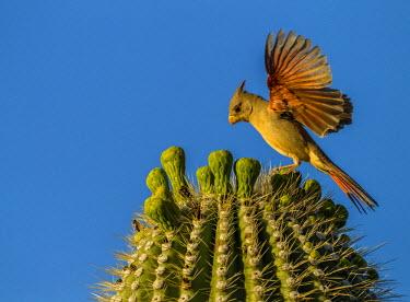 US03BJY0233 USA, Arizona, Sonoran Desert. Pyrrhuloxia bird lands on saguaro buds.