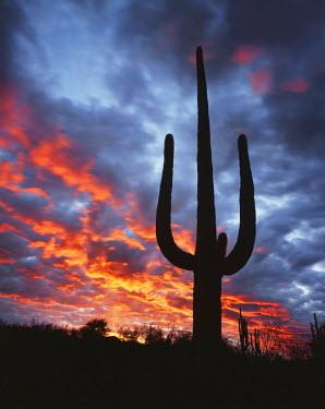 US03CTF0067 USA, Arizona, Organ Pipe Cactus National Monument, Saguaro Cacti (Carnegiea gigantea) at sunset.