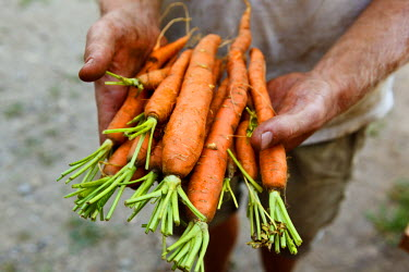 US22JMO0612 Nate Frigard holding carrots recently harvested for the Community Supported Agriculture (CSA) pick-up at his Crimson and Clover Farm in Northampton, Massachusetts.