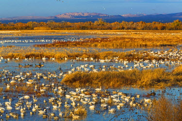 US32BJY0099 USA, New Mexico, Bosque del Apache National Wildlife Refuge. Canada and snow geese in water.