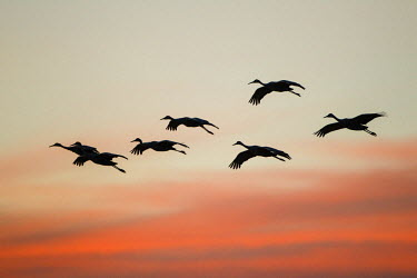 US32LDI0092 Sandhill Crane (Grus canadensis) landing at sunset, New Mexico, USA