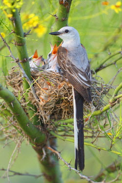 US44LDI1763 Scissor-tailed Flycatcher (Tyrannus forficatus) adult with babies at nest, Texas, USA