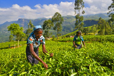 HMS1609523 Sri Lanka, Central Province, Nuwaraeliya District, Pussellawa, Plantation Bluefields, women collecting(harvesting) tea leaves in one fields with a background mountain