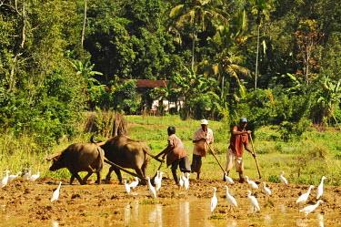 HMS2015061 Sri Lanka, Ella, man working with ox-cart in plantation mud