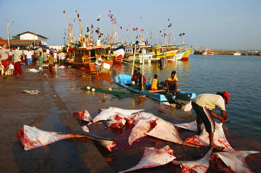 HMS2015080 Sri-Lanka, Mirissa, fishermen gathering on colorful pier with dead sharks and ray