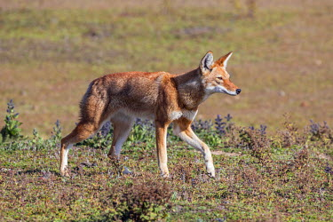 ETH2843 Ethiopia, Oromia Region, Bale Mountains, Weyb Valley. The endangered Ethiopian wolf lives at high altitude on the Bale Mountains living off rodents such as grass rats and giant mole rats.