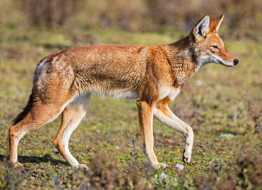 ETH2868 Ethiopia, Oromia Region, Bale Mountains, Weyb Valley. The endangered Ethiopian wolf lives at high altitude on the Bale Mountains living off rodents such as grass rats and giant mole rats.