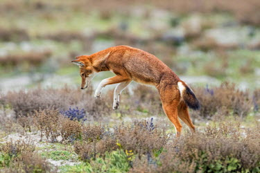 ETH2882 Ethiopia, Oromia Region, Bale Mountains, Weyb Valley. An Ethiopian Wolf pounces on its prey. These endangered canids live at high altitude and feed on rodents.