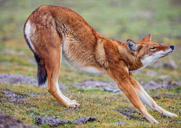 ETH2885 Ethiopia, Oromia Region, Bale Mountains, Weyb Valley. An Ethiopian Wolf stretches after waking up. These endangered canids live at high altitude and feed on rodents.