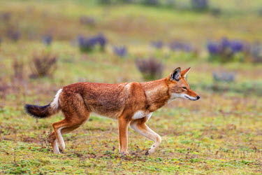 ETH2889 Ethiopia, Oromia Region, Bale Mountains, Weyb Valley. An Ethiopian Wolf stalks its prey. These endangered canids live at high altitude feeding on rodents such as grass rats and giant mole rats.