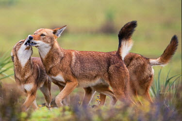 ETH2892 Ethiopia, Oromia Region, Bale Mountains, Weyb Valley. Ethiopian Wolves play with each other. These endangered canids are mainly solitary. They live at high altitude feeding on rodents.