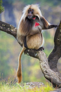 ETH2950 Ethiopia, Amhara Region, Simien Mountains, Debark. A male Gelada. This distinctive species of Old World monkey is only found in the Ethiopian Highlands.