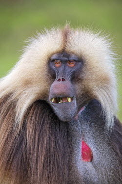 ETH2954 Ethiopia, Amhara Region, Simien Mountains, Debark. A portrait of a male Gelada. This distinctive species of Old World monkey is only found in the Ethiopian Highlands.
