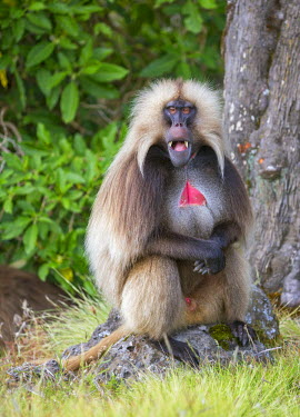 ETH2957 Ethiopia, Amhara Region, Simien Mountains, Debark. A male Gelada showing his sharp teeth. This distinctive species of Old World monkey is only found in the Ethiopian Highlands.