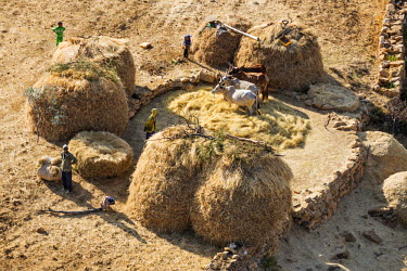 ETH3009 Ethiopia, Tigray Region, Gheralta.  A typical scene outside a Tigrayan homestead with cattle trampling on teff cereal to separate the grain from the chaff.