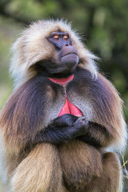 ETH3040 Ethiopia, Amhara Region, Simien Mountains, Debark. A male Gelada. This distinctive species of Old World monkey is only found in the Ethiopian Highlands.