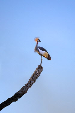 KEN10131 Kenya, Samburu County, Samburu National Reserve. A Crowned Crane perched on the dead branch of a doum palm.