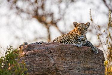 KEN10139 Kenya, Samburu County, Samburu National Reserve. A leopard rests on top of a rock.