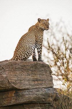 KEN10141 Kenya, Samburu County, Samburu National Reserve. An alert leopard sits on top of a rock