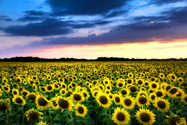 FRA9162 Field of blooming sunflowers in Loire Valley, France, Europe