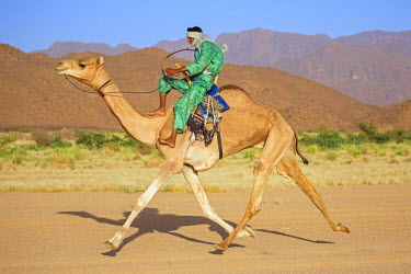NIG7471 Niger, Agadez, Iferouane. A Tuareg races his camel sitting on a traditional camel saddle with a back rest.