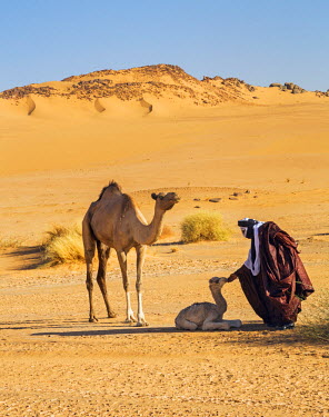NIG7497 Niger, Agadez, Sahara Desert, Tenere. A Tuareg tenderly touches a newborn camel watched by its mother.