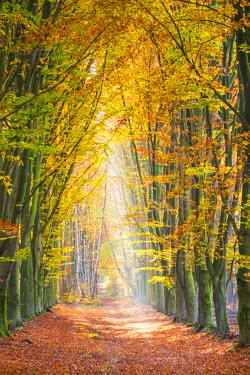 BEL1258AW European Beech (Fagus sylvatica) forest Hoge Kempen National Park in autumn, Limburg, Vlaanderen (Flanders), Belgium