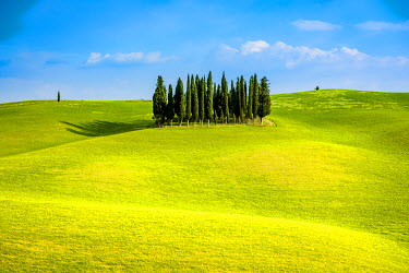 ITA5307AWRF Valdorcia, Siena, Tuscany, Italy. Group of cypresses on green rolling hills.