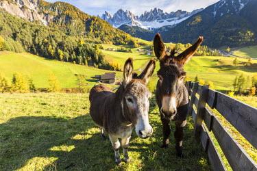 CLKFV37977 Two donkeys with Odle Dolomites peaks on the background. Santa Maddalena, Funes, Bolzano, Trentino Alto Adige - Sudtirol, Italy, Europe.