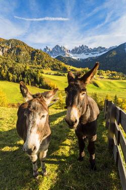 CLKFV37980 Two donkeys with Odle Dolomites peaks on the background. Santa Maddalena, Funes, Bolzano, Trentino Alto Adige - Sudtirol, Italy, Europe.