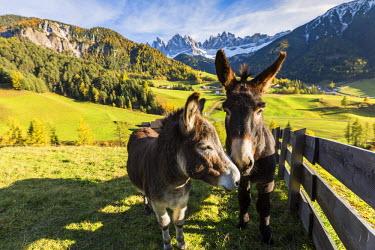 CLKFV37999 Two donkeys with Odle Dolomites peaks on the background. Santa Maddalena, Funes, Bolzano, Trentino Alto Adige - Sudtirol, Italy, Europe.