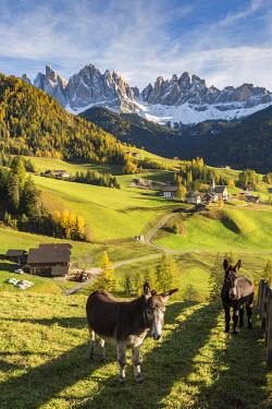 CLKFV38019 Two donkeys with the village and Odle Dolomites peaks on the background. Santa Maddalena, Funes, Bolzano, Trentino Alto Adige - Sudtirol, Italy, Europe.