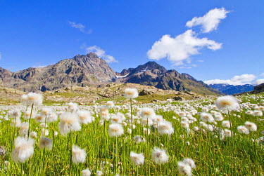 CLKGM3309 Cotton grass summer blooming in Valgrosina. Lombardy, Italy.